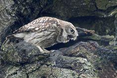 Little Owl | Little Owl Sitting in tree next to nest hole. W… | Flickr