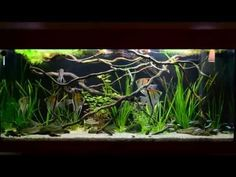 49 Best Amazon Blackwater Biotope Images Tropical Fish Tanks