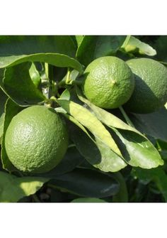 Various types of citrus trees for sale - less than $50 with a 3 year warranty