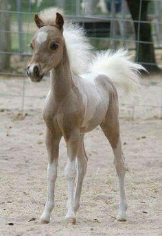 A newborn Palamino foal