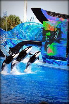 Shamu Whale show at Sea World Orlando #shamu #whale #seaworld