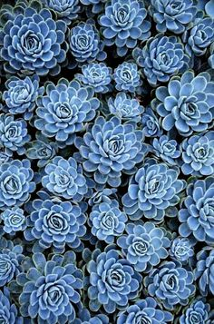 """Blue Succulents--we have the green ones...what makes these """"HENS and CHICKS"""" BLUE....."""