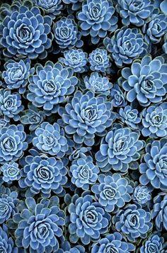 Blue succulents...so beautiful!
