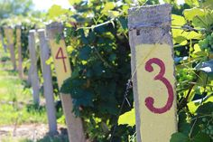Vineyards / Lawton, MI #vineyards #Michigan