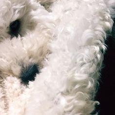 最近、もちゃもちゃさ〜んってままに呼ばれるの。僕ちっぷなのに。それとね、トリミング行かなきゃ行かなきゃってのもずっと言ってる🐶トリミングって疲れるやつでしょ? . . . #マルプー #マルプー愛好家 #マルプー連合 #all_dog_japan #dog #dog🐕 #dogstagram #やんちゃ犬 #愛犬 #愛犬なしでは生きられません #ふわもこ部#お洋服 #tokyo #ちっぷ#instagram #instapic #instafollow#わんこなしでは生きていけません会 #わんこは家族 #犬のいる暮らし