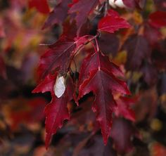 Embers Amur Maple Growing Tree Small Trees Seed Pods Acer