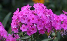 Die Hohe Flammenblume (Phlox paniculata) kommt mit jedem Gartenboden zurecht, sofern er ausreichend nährstoffreich und nicht zu durchlässig ist, und toleriert deshalb auch lehmige Böden