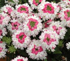 "Verbena ""Lanai Twister Pink""   Summer annual. Full sun. Low water usage. Successful at Dallas Arboretum plant trials."