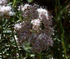 Flattop Buckwheat-Eriogonum fasciculatum (Close Up)