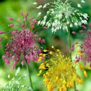 Allium Fireworks in mix