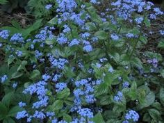 brunnera - shade perennial w/ blue flower by imelda