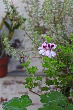 orange scented geranium blossom, gardenista