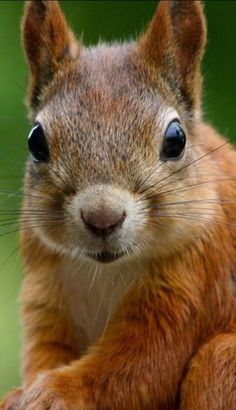Closeup of a red squirrel. What a great photo! Who took it, please?