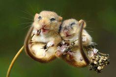 So happy! Lachende Haselmäuse kuscheln verträumt