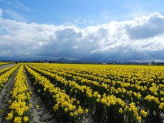 Rows and rows of yellow tulips