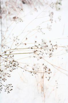 Ensilumi hunnutti korianterin kukinnot talven taideteokseksi. Dandelion, Flowers, Plants, Dandelions, Plant, Taraxacum Officinale, Royal Icing Flowers, Flower, Florals
