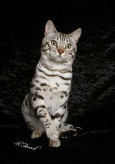 Bengal Cats For Sale Bengal Cat Breeder Breeders Snow Bengal Cats For Sale White Cat Breeds, Fluffy Cat Breeds, Large Cat Breeds, Rare Cats, Exotic Cats, Cats And Kittens, Bengal Cat For Sale, Bengal Cats, I Love Cats