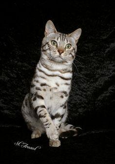 Bengal cats.