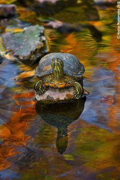 Pet Turtle Care Guide Turtles are reptiles and belong to order Testudines. They are cold blooded animals and unable to Land Turtles, Cute Turtles, Pet Turtle Care, Beautiful Creatures, Animals Beautiful, Beautiful Scenery, Reptiles Et Amphibiens, Animals And Pets, Cute Animals