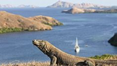 Komodo is one of the islands that make up the Republic of Indonesia. The island is particularly notable as the natural habitat of the Komodo Dragon, the largest lizard on earth and consequently named after the island. Komodo Island Tour, Large Lizards, Komodo National Park, Gili Island, Sailing Trips, Labuan, Borobudur, Juni, Bora Bora