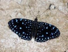 Mariposa Hamadryas Laodamia Costa Rica