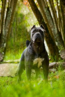 Westminster Cane Corso Breeder New York Cane Corso Italian Mastiff, Cane Corso Mastiff, Cane Corso Dog, Big Dogs, Dogs And Puppies, Doggies, Cane Corso Breeders, Military Dogs, Cute Funny Animals