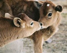 cows are cute...