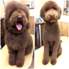 Before and after! Hannah the Labradoodle got her first full haircut!