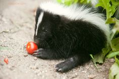 One day on my massive farm I will have a skunk that has his stink glands removed ❤️