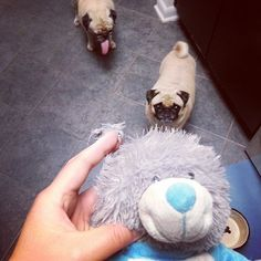 Rosy has completely de-eared one of her favorite stuffies (originally Sunny's Xmas gift). (SR)
