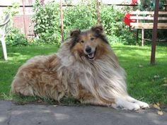 Shedding: ConstantSeasonal Shedding? YesAlso called a Rough Collie, Scottish Collie, Long-Haired Col... - Schlaier/Wikimedia Commons