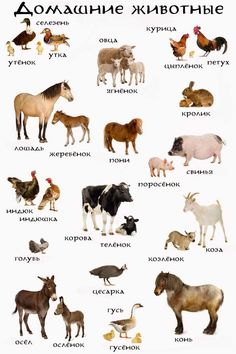 Domestic animals Russian language