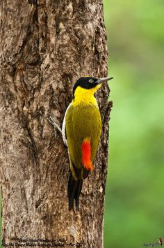 Black-Headed Woodpecker (Male). It's habitat is in Cambodia, Laos, Myanmar, Thailand, and Vietnam.