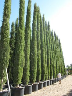 Italian Cypress Trees And Conifers