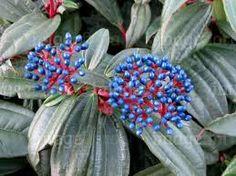 viburnum davidii blue berries