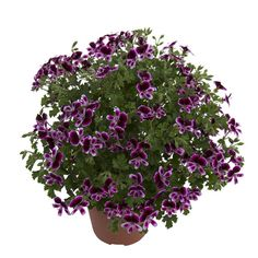 Mosquitaway are lavish flowering Angel Pelargoniums for both your home or garden. The strong citrus scent of these plants acts as a deterrent to mosquitoes which appear to dislike the lemony scent. Frisk, How To Dry Basil, Angels, Herbs, Backyard, Garden, Flowers, Plants, Free Space
