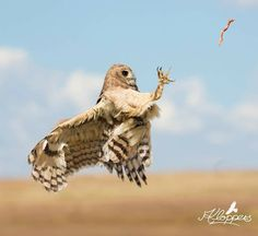 African Wood Owl in action