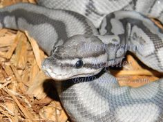 Cool Snakes, Colorful Snakes, Beautiful Snakes, Most Beautiful Animals, Cute Reptiles, Reptiles And Amphibians, Pet Ball, Bearded Dragon Cute, Ball Python Morphs