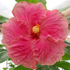 """One of the new giants to come out of our HVH hybridizing program, 'Desire' blooms with a huge 8-10"""" single in bright pink offset by a softer..."""