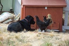Dogs and backyard chickens--I don't think this will work with my Jack Russel. She only sees chicken nuggets! Urban Chickens, Baby Chickens, Chickens Backyard, Keeping Chickens, Raising Chickens, How To Introduce Dogs, Pollo Tropical, Chicken Breeds, Chicken Coops