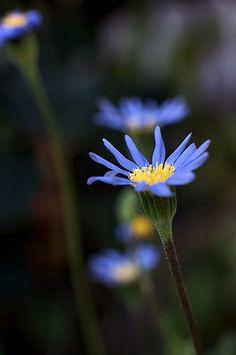 blue daisy - るりひなぎく
