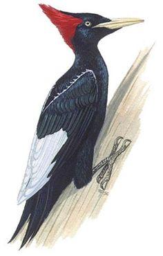 Bird Illustration, Flora And Fauna, Bird Prints, Prehistoric, Animal Drawings, Beautiful Birds, Gods Love, Animal Kingdom, Animals And Pets
