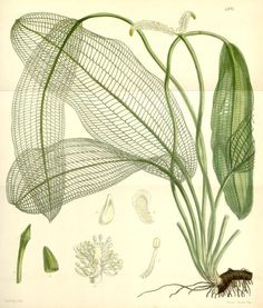 Aponogeton madgascariensis, the Madagascan lace plant, from Curtis's Botanical Magazine vol. 82 ser. 3 nr. 12 (1856).