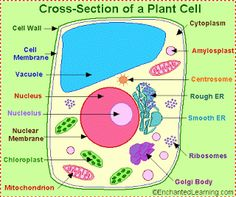 printable cell diagrams plant cell diagram classroom jr science rh pinterest com Plant Cell Model Labeled Model Animal Cell Diagram