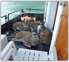 """Deer Rescued from Drowning were in Need of an Ark. -  """"Once the deer reached the boat, the four began to circle the boat, looking directly at us. We could tell right away that the young bucks were distressed. I opened up my back gate and we helped the typically skittish and absolutely wild animals onto the boat. In all my years fishing, I've never seen anything quite like it! """"Once on-board, they collapsed with exhaustion, shivering. We headed for Taku Harbor."""
