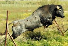 """One thing I have learned, any bull will try to kill you at some point even if you calved it.When it does """"change"""" and the bull gets """"rank"""" it will go through over whatever it wants. Tall steel gates and high wood fences on my bulls domain"""