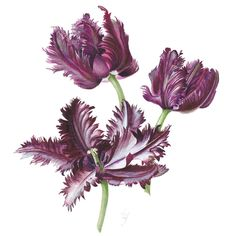 http://www.soc-botanical-artists.org/artist/christine-flintham/