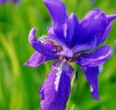 Schwertlilie * blue purple * iris tectorum *  von Pflanz-fix auf DaWanda.com