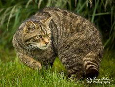 Scottish wildcat - Google Search