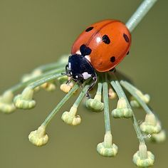 Lady Beetle on Fennel by Light❖,